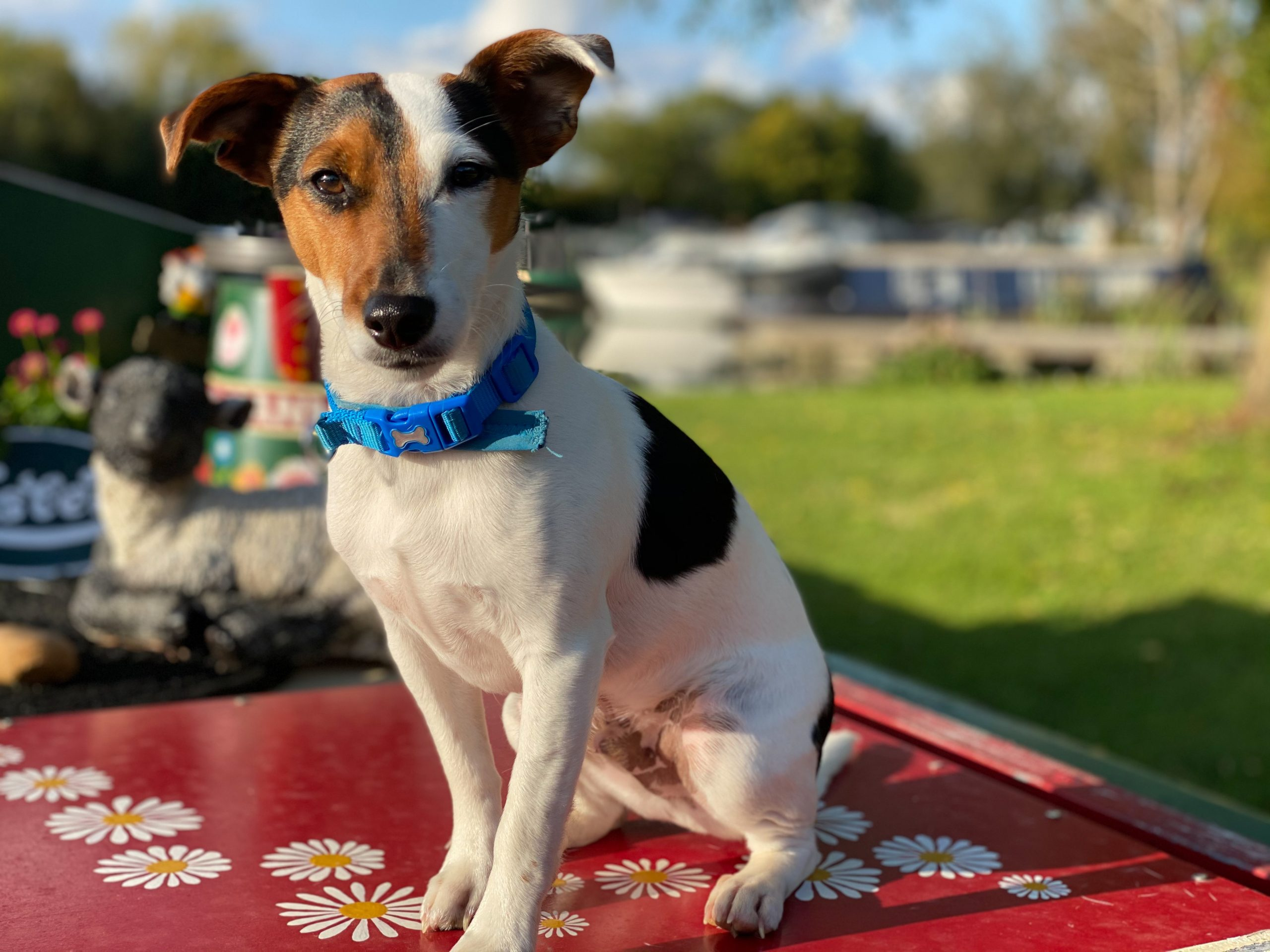 Hector the Jack Russell Terrier